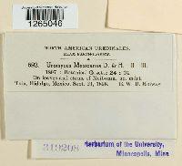 Uromyces mexicanus image