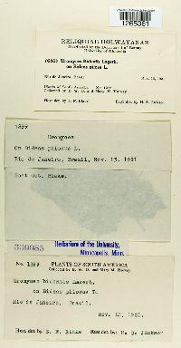 Uromyces bidentis image