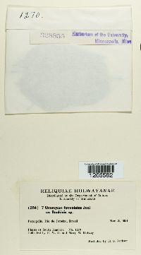 Uromyces foveolatus image