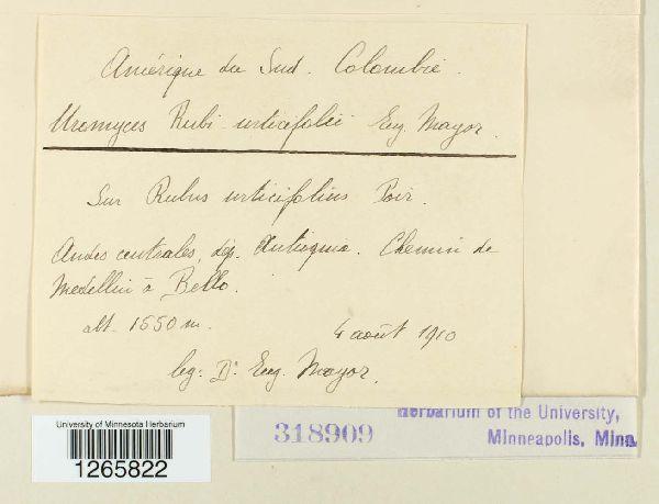 Gerwasia rubi-urticifolii image