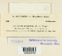Uromyces tuberculatus image