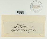 Uromyces salicorniae image