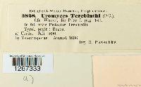 Pileolaria terebinthi image