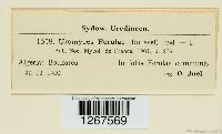 Uromyces ferulae image