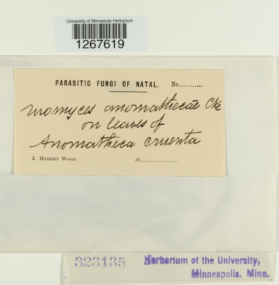 Uromyces anomathecae image