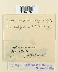 Uromyces sphaerocarpus image