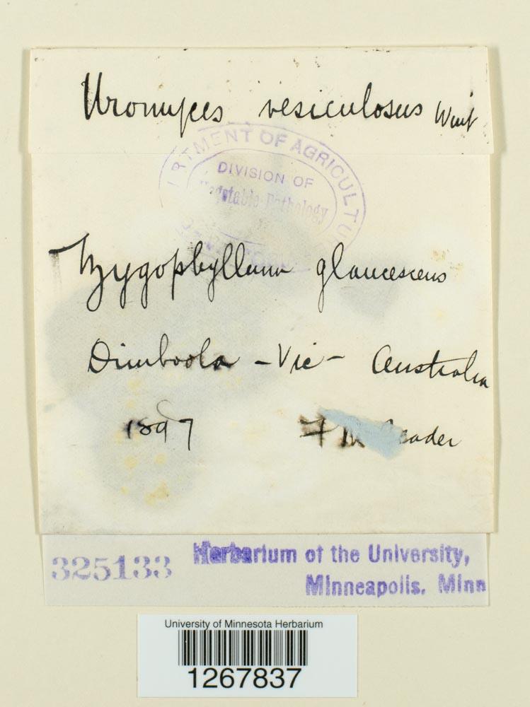 Uromyces vesiculosus image