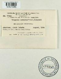Uropyxis amorphae image