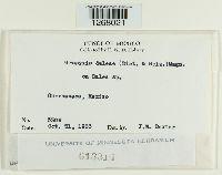 Uropyxis daleae image