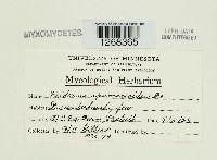Diderma hemisphaericum image