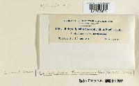 Lasiodiplodia theobromae image