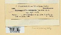 Image of Cercosporella compacta
