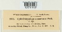 Cylindrosporium conservans image