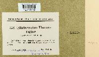 Cylindrosporium eleonorae-reginae image