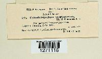 Cylindrosporium longisporum image