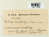 Image of Ustilago leucostachys