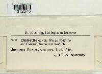 Anthracoidea caricis image