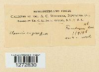 Clavaria rugosa image