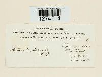 Laccaria laccata image