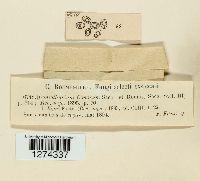 Coniothyrium conorum image