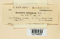 Aleurodiscus amorphus image