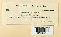 Exidiopsis calcea image