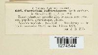 Corticium colliculosum image