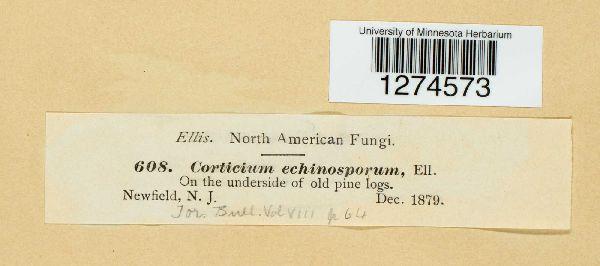 Tomentellopsis echinospora image