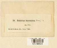 Corticium incarnatum image