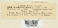 Cylindrobasidium laeve image
