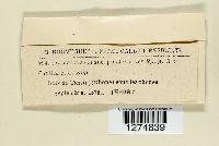 Craterellus cornucopioides image