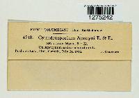 Cylindrosporium apocyni image