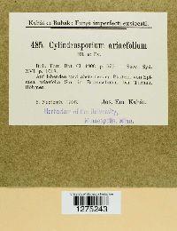 Cylindrosporium ariaefolium image
