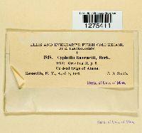 Cyphella ravenelii image