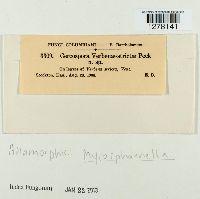 Cercospora verbenae-strictae image