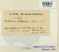 Image of Aecidium mikaniae