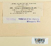 Uromyces dictyospermae image