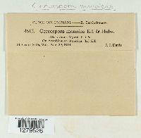 Cercospora monoicae image
