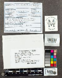 Hebeloma incarnatulum image