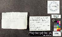 Suillus brevipes var. subgracilis image