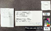 Suillus cavipes image