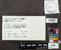 Suillus serotinus image