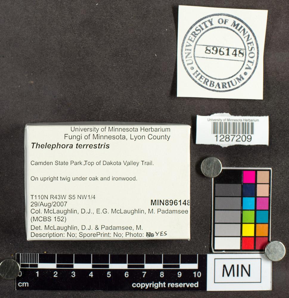 Thelephora terrestris image