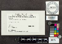 Image of Tomentella calcicola