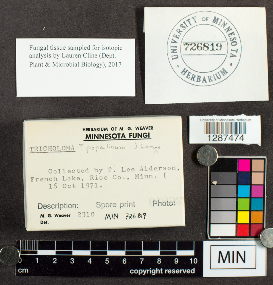 Tricholoma populinum image