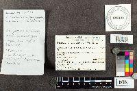 Tricholoma argyraceum image