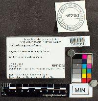 Tricholomopsis rutilans image