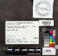 Xanthoconium stramineum image