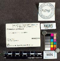 Cronartium quercuum image