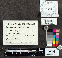 Physarum viride var. viride image